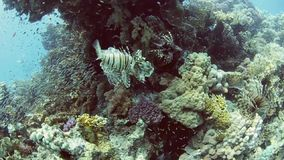 Shoal of lionfish on a coral reef. Shoal of Red Sea lionfish pterois volitans hunting on a tropical coral reef stock video