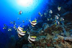 Shoal of longfin bannerfish Stock Photography