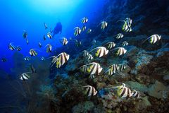 Shoal of longfin bannerfish. In the tropical waters of the red sea Stock Image