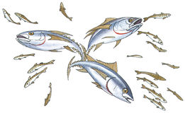 Shoal mackerel. On hunting. Hand drawing Stock Photo