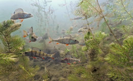 Shoal Of Perch In The Lake Stock Image
