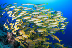Free Shoal Of Yellowfin Goatfish Royalty Free Stock Photo - 66794665