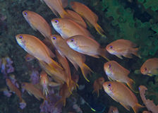 Shoal of orange lyetail anthias fish. Stock Photo
