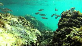 Shoal of common Mediterranean Sea fish. Shoal over rock seabed in the Mediterranean sea stock footage