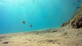 Pair of fishes fighthing for territory in Mediterranean Sea. stock video