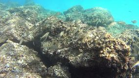Shoal of common Mediterranean Sea fish. Shoal over rock seabed in the Mediterranean sea stock video