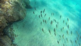 Shoal of common Mediterranean Sea fish. Shoal over rock seabed in the Mediterranean sea stock video footage