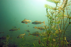 Shoal of perch. In the lake royalty free stock images