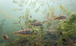 Shoal of perch in the lake Royalty Free Stock Photos