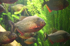 Shoal of Piranhas Royalty Free Stock Image
