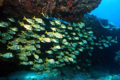 Shoal of porkfish grunts Stock Photo