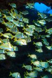 Shoal of porkfish grunts Royalty Free Stock Image