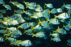Shoal of porkfish grunts Stock Photos