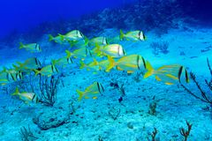 Shoal of porkfish grunts Royalty Free Stock Photo