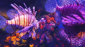 Shoal of Pterois or Lionfish in deep dark undersea coral reef on tropical Indian and Indo-Pacific ocean in HD quality video