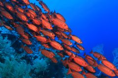 Shoal of red bigeye perches. In the tropical reef of the red sea Royalty Free Stock Images