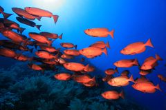Shoal of red bigeye perches. In the tropical reef of the red sea Royalty Free Stock Photography