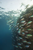 Shoal of red sea fusiliers on a reef Stock Photos
