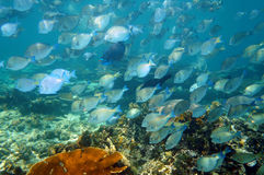 Shoal of reef fish Royalty Free Stock Images