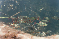 Shoal of roach and white bream Stock Images