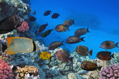 Shoal of Sailfin tang, Red Sea. Egypt Stock Photography
