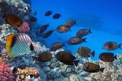 Shoal of Sailfin tang, Red Sea. Egypt Royalty Free Stock Photo