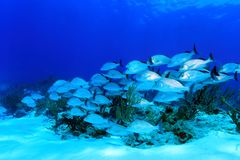 Shoal of sailors choice grunts. (Haemulon parra) in the costal waters of the caribbean sea Royalty Free Stock Image