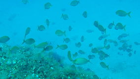 Shoal of Salema. Underwater footage of a shoal of Salema stock footage