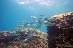 Shoal of sarpa fish Stock Image