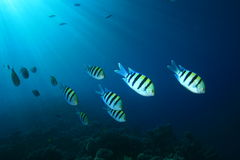 Shoal of Scissortail Sergeants Stock Images
