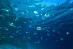 Shoal of Scissortail Sergeants Royalty Free Stock Photo