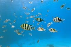 Shoal of sergeant fish Stock Image