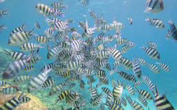 Shoal of sergeant major damselfish on coral reef. Shoal of sergeant major damselfish Abudefduf saxatilis on a tropical coral reef Royalty Free Stock Photography