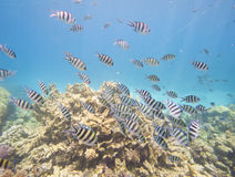 Shoal of sergeant major damselfish on coral reef Royalty Free Stock Image