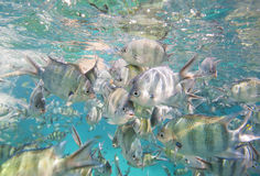 Shoal of sergeant major damselfish on coral reef Royalty Free Stock Photos