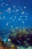 Shoal of sergeant major fish in Martinique Royalty Free Stock Photos
