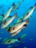 Shoal of silver Bream stock photography