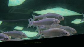 Shoal of silver fishes swimming in huge aquarium. Entertaiment concept stock video footage