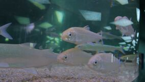 Shoal of silver fishes swimming in huge aquarium. Entertaiment concept stock video