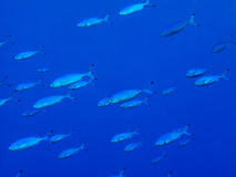 Shoal of silver fusilier fish Royalty Free Stock Photo