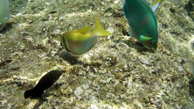 Shoal of small Anchovy fish close to coral reef stock video