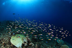 Shoal of small fish Stock Images