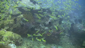 Yellowfin goatfish, Mulloidichthys vanicolensis on a coral reef in Philippines. Shoal of yellowfin goatfish, Mulloidichthys vanicolensis on a coral reef outside stock footage