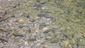 Shoal of small trout fish. Feeding on shallow water stock video footage