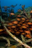 Shoal of soldierfish on an artificial reef Royalty Free Stock Images