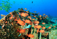 Shoal of Squirrelfish around underwater wreckage Stock Image