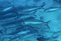 Shoal Striated fusilier Royalty Free Stock Photography