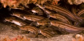 Shoal of striped catfish Stock Photos