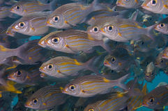 Shoal of Striped large-eye bream Royalty Free Stock Photos