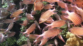 Shoal of Stripped Fish on Coral Reef stock video